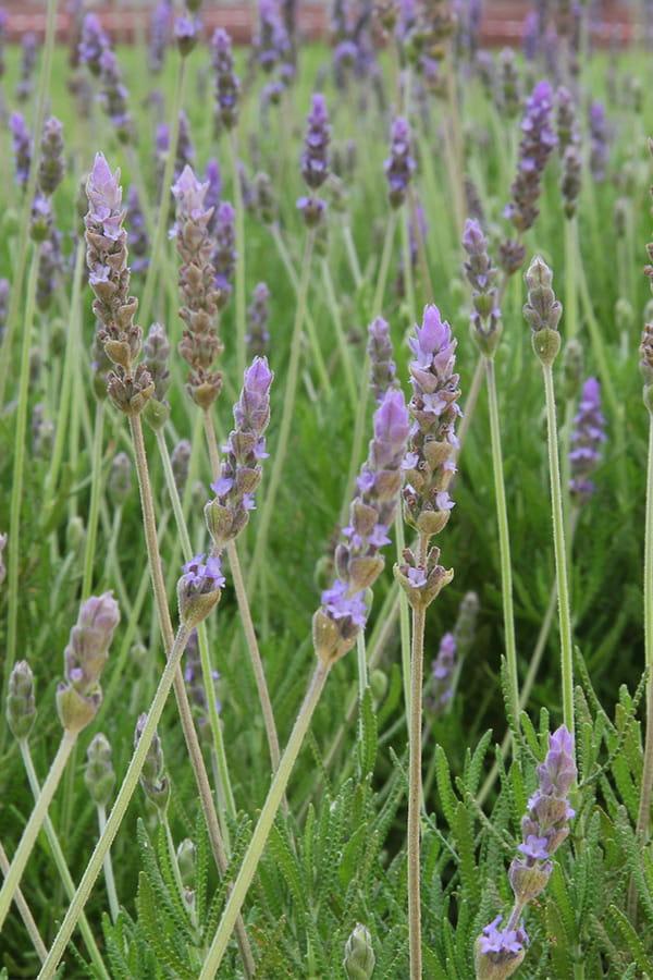 Les herbes de Provence
