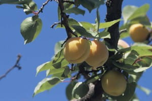 Apricots can be cooked in a variety of ways