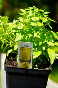 Basil is the leading herb of the summer according to horticultural expert