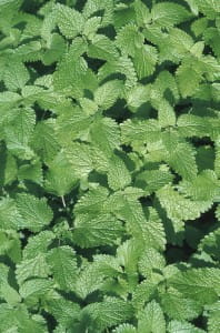 Herbs can be used in variety of foods and drink from ice cream to tea