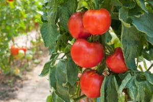 Garnish tomatoes for luscious soups